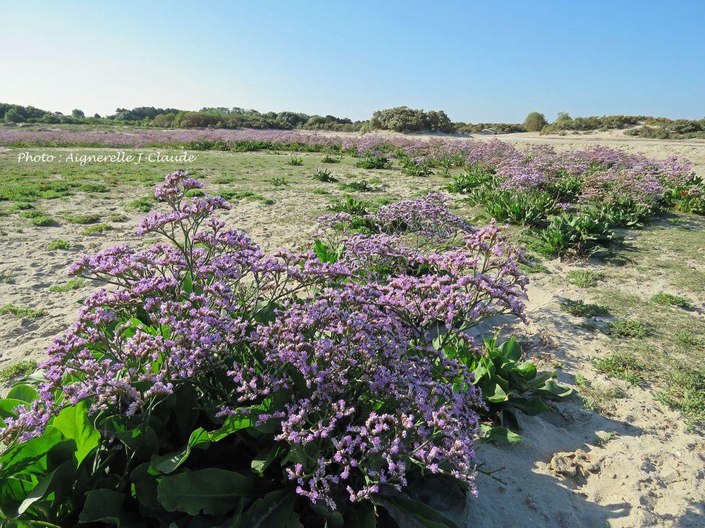 Lilas de Mer - Baie de Somme le Crotoy